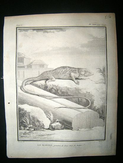 Buffon: C1770 Marbled Lizard, Antique Print | Albion Prints